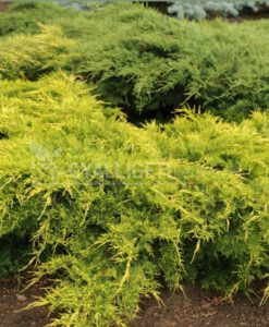 Kínai boróka 'Armstrong gold'