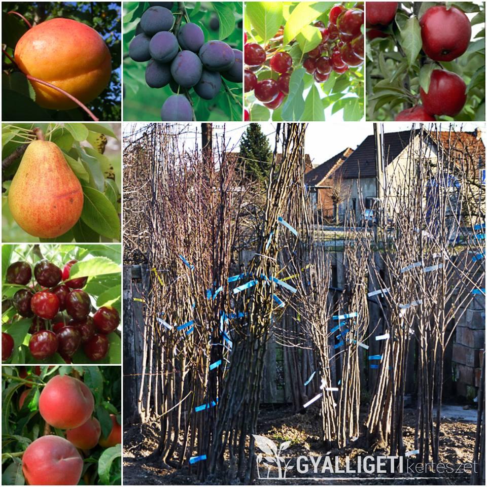Gyümölcsfa oltványok érkeztek