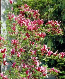 Magnolia liliiflora Nigra - Bíborvörös liliomfa