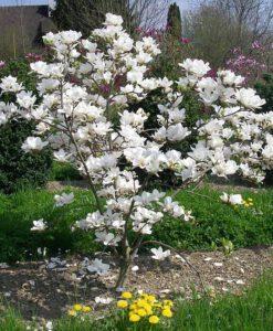 """Magnolia x soulangeana - Nagyvirágú liliomfa """"tulipánfa"""""""